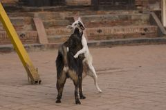Street dogs jumping on each other while mock fighting. Medium-sized street dogs jumping on each other while mock fighting in Taumadhi Square, Bhaktapur, Nepal royalty free stock photos