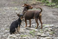 Street Dogs, La Fortuna, Costa Rica. A mother dog and her puppy stad in a road near La Fortuna, Costa Rica, June 2017 Stock Photo