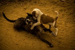 Street dogs playing on the dirt floor in Três Marias, Minas Gerais, Brazil. stock image