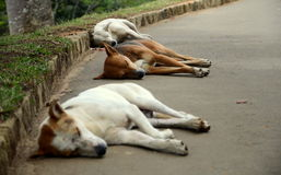 Street dogs Royalty Free Stock Image