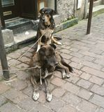 Street dogs. Two mongrel street dogs attached to post waiting for owner to return Stock Photo