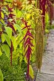 Street garden. Amaranth plant on the street garden Stock Image