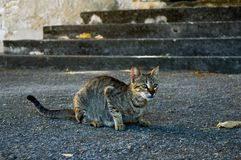 Street Grey Cat Ready To Hunt Stock Images