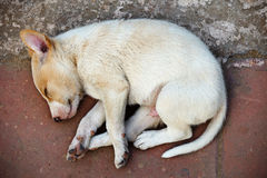 Street homeless mongrel puppy Stock Images