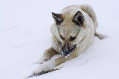 Street hungry dog gnawing on a branch lying. On the snow winter cold Royalty Free Stock Photography