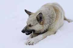 Street hungry dog gnawing on a branch lying. On the snow winter cold Stock Image