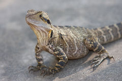 Street iguana Royalty Free Stock Photography