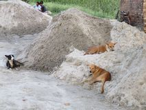 Street Dogs resting upon Sand Royalty Free Stock Photography