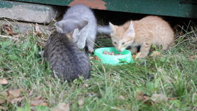 Street kittens eat a forage from the bowl stock video footage