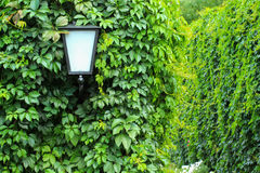 Street lamp among the ivy. On  fence curling ivy Royalty Free Stock Photo