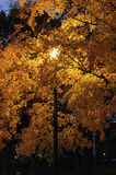 Street lamp Maple tree autumn glow Stock Photos