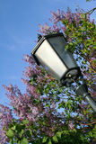 Street Lantern in blooming lilac flowers Royalty Free Stock Photos