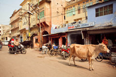 Street life with cafe, driving motorcycles and walking cow in old indian city Stock Image