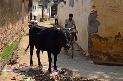 Street-life with cow and rubbish, Mandawa, India Stock Photo