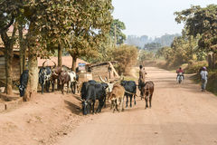 Long horned cattle on paved road in Uganda Stock Images