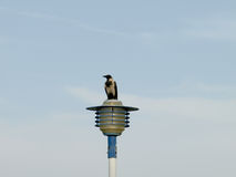 Street light and crow. Crow under the blue sky and white clouds Royalty Free Stock Images