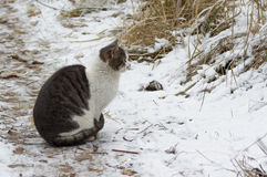Street male cat having rest while sitting on a snow Royalty Free Stock Image