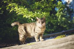 Street mongrel cat. Street mongrel cat walks on a summer day royalty free stock image