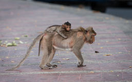 Street monkey with monkey baby. Royalty Free Stock Photography