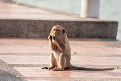 Street monkey. Stock Image