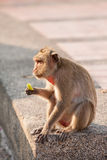 Street monkey. Stock Photography