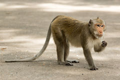 Street monkey walking. Royalty Free Stock Photography