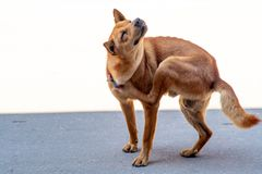 A street photo of a brown dog scratching his neck on the side of the street. stock photos