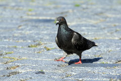 Street pigeon Royalty Free Stock Images