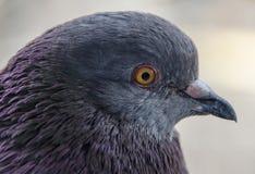 Street pigeon Stock Photo