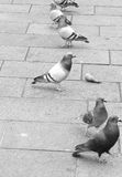 Street pigeons. Birds on the street in black and white royalty free stock images