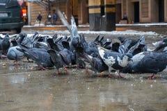 Street pigeons on a city sidewalk, eating breadcrumbs stock image