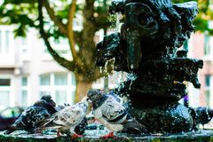 Street pigeons cooling off in fountain during the heatwave Stock Photography