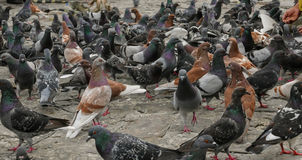 Street Pigeons. Many street pigeons being fed by people in a Park in Guayaquil Ecuador royalty free stock photos