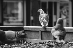Street pigeons in town. Three street pigeons watching people going by stock photo