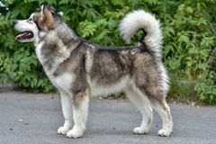 On the street portrait Malamute dog, looking in side royalty free stock photography