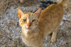 Street red cat Royalty Free Stock Images