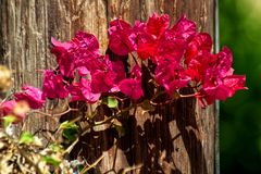 Pink leaves of Bougainvillea royalty free stock photos