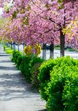 Street with row of blossoming cherry trees. Beautiful urban springtime scenery Stock Photos