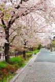 Street of Sakura trees Stock Photography