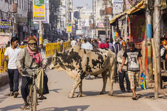 Street scene with holy cow. A street scene with holy cow in the city of Varanasi Stock Images