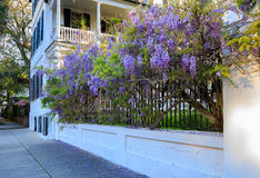 Street Scene Purple Wisteria Charleston South Carolina Royalty Free Stock Images