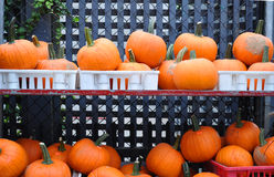 Street shalves. A lot of red pumpkins in shelves Stock Images