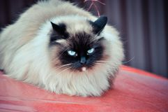 Street Siamese cat jumped on the hood of a red car and watching everyone. royalty free stock photo