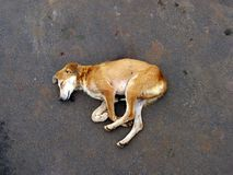 Street Sleep. A street dog sleeps comfortably on a wet road, on a rainy day in India Stock Image