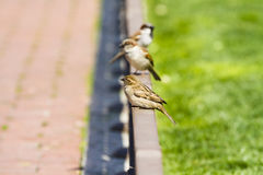 Street sparrow on little bronze fence Stock Photos