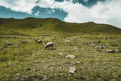 Street in steppe with many sheep and Tian Shan mountains in background, Kazakhstan Central Asia royalty free stock photo