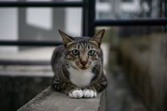 Street Stray Cat. With sharp intense look Royalty Free Stock Photo