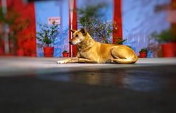 Street or Stray Dog Looking For Something. royalty free stock images