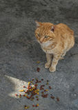 Streetcat arancio davanti a cibo per gatti fotografia stock libera da diritti