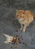 Streetcat orange devant des aliments pour chats Photographie stock libre de droits